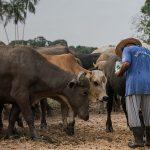 Pantangan dalam Beternak Ruminansia Beserta Tipsnya